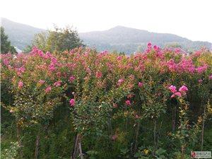 公路边出售桂花、紫薇、玉兰、栀子花等树苗