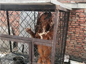 猎犬出售巴尔干博撒维兹比利时蒙古细德猎梗