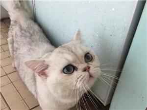 出售英国短毛猫
