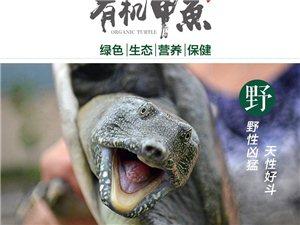 出售原生态仿野生甲鱼苗中华鳖苗团鱼苗水鱼苗