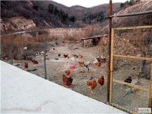 生态林下散养鸡