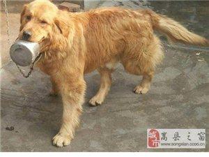 一岁全防疫金毛犬因无人喂养欲低价出售