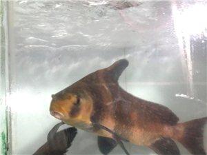 好消息!兴旺水产上新品了:胭脂鱼、桂花鱼、肥鱼、娃娃鱼