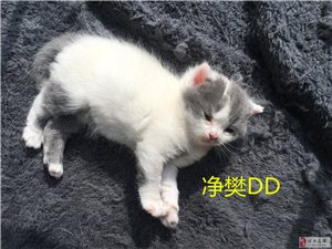 出售自家英短生的小貓,公母全,價不高