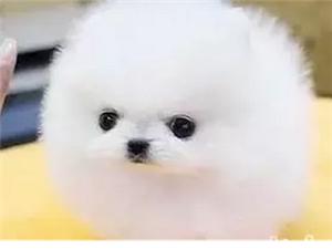 家养纯种哈多利版球体博美幼犬可送货上门