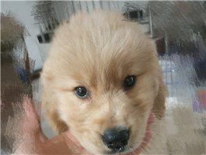 金毛幼犬转让
