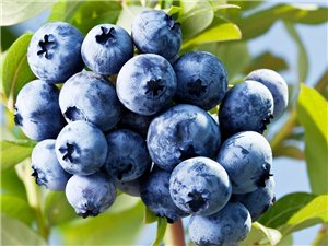 伊春九天生物科技有限公司常年销售优质蓝莓苗蓝靛果苗