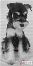 出售自家繁殖雪纳瑞幼犬