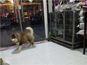 因工作原因,自己爱犬四个月大阿拉斯加现忍痛出售带狗