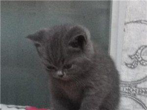 家养纯种蓝猫