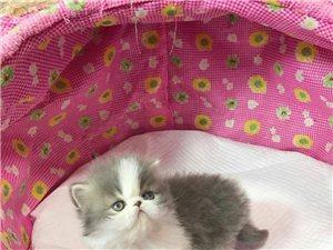 长阳周女士现有一只蓝白加菲猫出售!