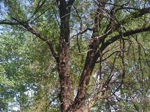 百年桑树出售