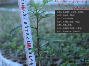 出售顶级品种花椒苗