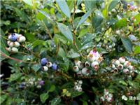 建水縣林志生態藍莓種植基地,有意者洽談轉讓經營事