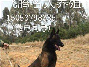 马犬价格马犬多少钱一只?