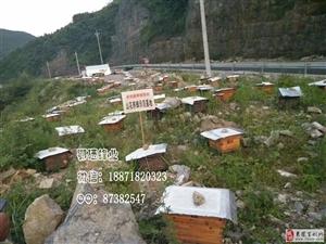 鄂硒蜂业全国招中蜂养殖学员培训  澳门新濠天地官网首页:中蜂群、处王