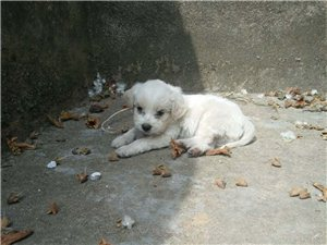 5月4日黔江碧桂園附近丟失一月大小奶狗一只求助各位