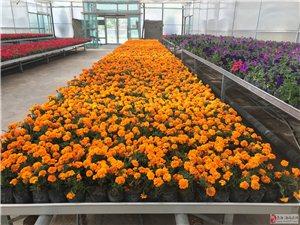 大量盆花出售