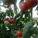 梁湖乡岷州村西红柿大批发零售