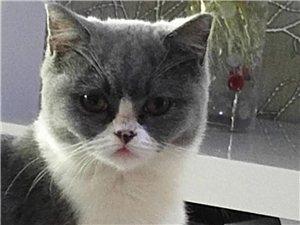 英短蓝白猫咪