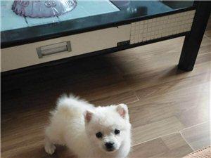 出售2個月大個人博美犬