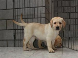 出售拉布拉多犬狗狗了,纯种本地,便宜卖了