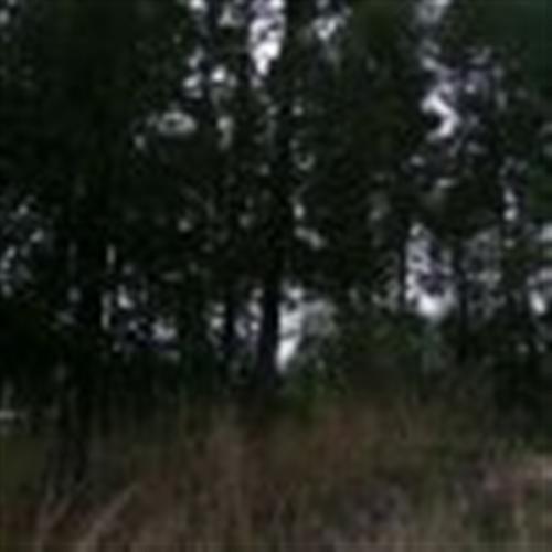 转让成熟林地300亩,松树杨树房子,