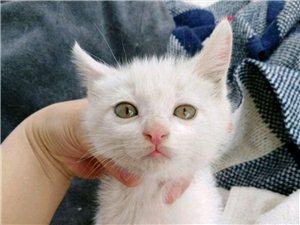 出售白色小貓