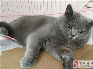 蓝猫种公借配