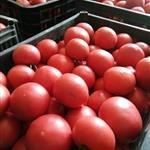 梁湖乡岷州村西红柿大批发零售,