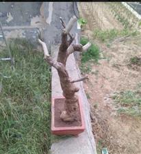 嘉祥奇石盆景 五十年老黄荆熟桩