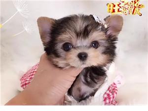 疫苗齐全三个月质保纯种约克夏幼犬送货上门