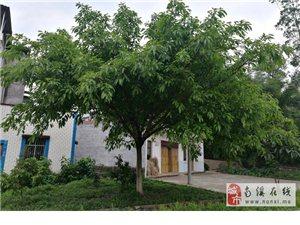 售卖我老家1棵高约6M,冠幅约8M的黄桷树