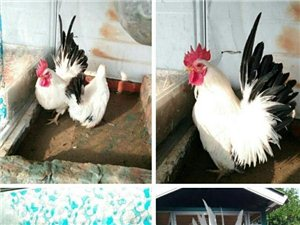 元宝鸡,观赏鸡