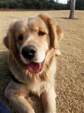 自家��N9��月金毛繁殖犬低�r��壑�