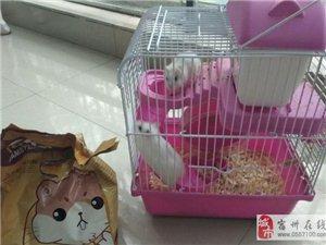 轉讓兩只可愛的小倉鼠