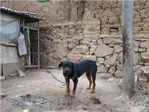 罗威纳一年半的小母狗