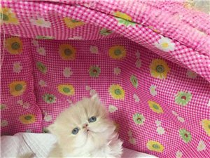 长阳周小姐现有一只品相极佳小公加菲猫出售!
