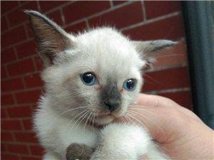 可愛暹羅貓對外出售