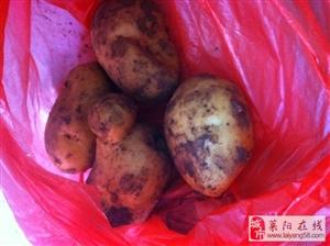 优质土豆出售,价格公道0.8元每斤