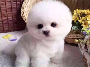 珠海出售純種博美 泰迪 比熊 巴哥 吉娃娃幼犬