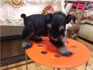 宜昌刘先生有家养高品质雪纳瑞幼犬出售!