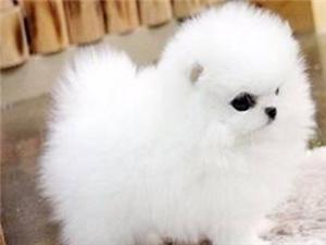 珠海出售茶杯体博美幼犬哈多利球体宠物狗活体珠海博美