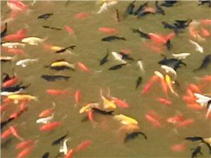 大量批发观赏鱼