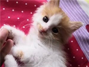 刚出满月的小猫 价格面议