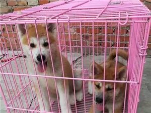 秋田犬疫苗已打