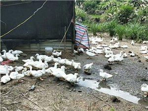 本人有四百只左右白鸭子批发出售