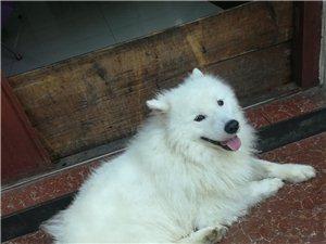 萨摩耶犬出售