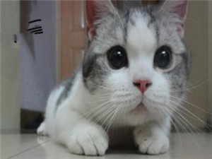 珠海出售純種包健康折耳貓全國發貨