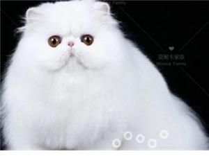 珠海波斯猫犬舍直销 保纯种 保健康 全国发货